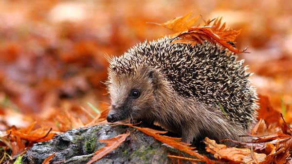 Save Our Hedgehogs!